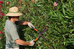 Beschnitt des Oleanders