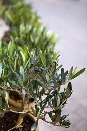 Verzweigung des Olivenbaums