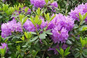 rhododendron pflanzen pflege schneiden und vermehren. Black Bedroom Furniture Sets. Home Design Ideas