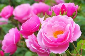 grundlagen der rosenpflege pflanzen und pflege von rosen. Black Bedroom Furniture Sets. Home Design Ideas