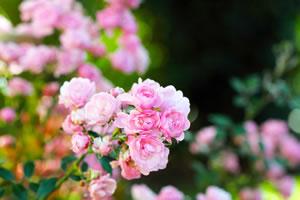 rosen vermehren rosenvermehrung durch stecklinge. Black Bedroom Furniture Sets. Home Design Ideas
