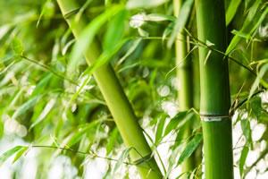 fargesia murielae pflege des muriel bambus. Black Bedroom Furniture Sets. Home Design Ideas