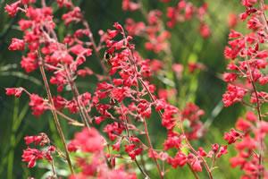 Purpurgloeckchen-Pflanze