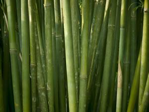 riesenbambus aussaat und pflege des winterharten bambus. Black Bedroom Furniture Sets. Home Design Ideas