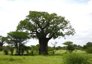 Affenbrotbaum in der Natur