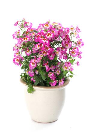 bauernorchidee schizanthus pflege anleitung der spaltblume. Black Bedroom Furniture Sets. Home Design Ideas