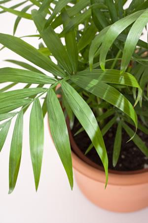Bergpalme chamaedorea elegans pflege anleitung for Zimmerpflanzen umpflanzen