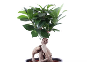 ficus ginseng pflege anleitung f r den bonsai. Black Bedroom Furniture Sets. Home Design Ideas