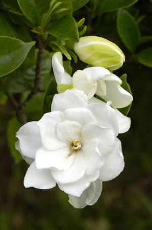 gardenien gardenia sorten und pflege anleitung. Black Bedroom Furniture Sets. Home Design Ideas