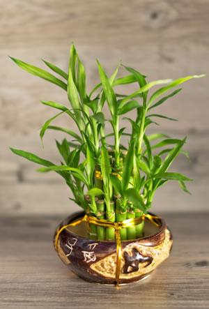 gl cksbambus lucky bamboo dracaena sanderiana pflege anleitung. Black Bedroom Furniture Sets. Home Design Ideas