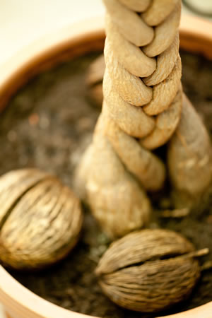 Früchte der Glückskastanie