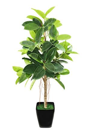 gummibaum ficus elastica pflege anleitung. Black Bedroom Furniture Sets. Home Design Ideas