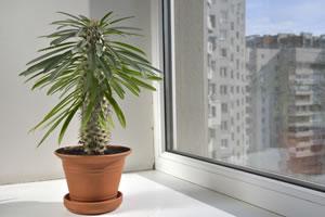 madagaskarpalme pachypodium lamerei pflege anleitung. Black Bedroom Furniture Sets. Home Design Ideas