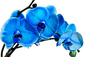 blaue orchideen f rben anleitung und pflege tipps. Black Bedroom Furniture Sets. Home Design Ideas