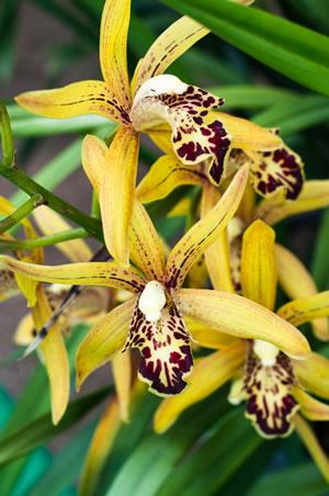 cymbidium orchideen pflege anleitung. Black Bedroom Furniture Sets. Home Design Ideas