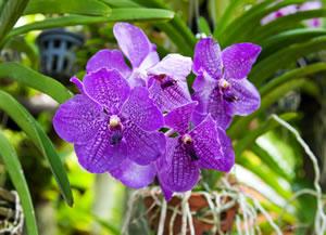 vanda orchidee ascocentrum pflege und vermehren. Black Bedroom Furniture Sets. Home Design Ideas