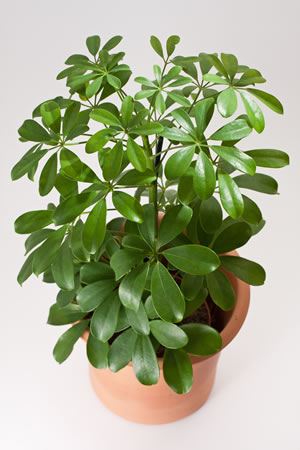 Schefflera strahlenaralie pflege und vermehrung for Pflanzen im zimmer