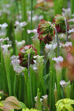 Blüten der Schlauchpflanze