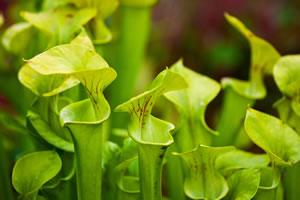 Gruppe von Schlauchpflanzen