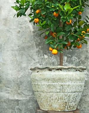 Mandarinenbaum in Topf