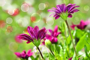 chrysantheme chrysanthemum pflege anleitung. Black Bedroom Furniture Sets. Home Design Ideas