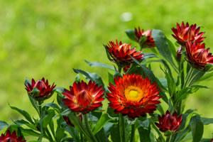strohblumen helichrysum pflege anleitung trocknen. Black Bedroom Furniture Sets. Home Design Ideas
