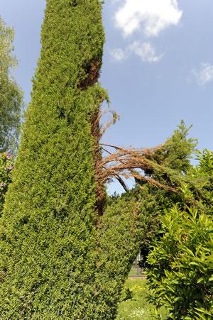 wacholder juniperus communis pflege und schneiden