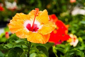 hibiskus hibiscus pflege schneiden und berwintern. Black Bedroom Furniture Sets. Home Design Ideas