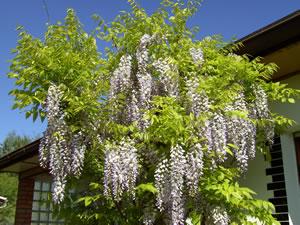 blauregen glyzinie wisteria pflege und schneiden. Black Bedroom Furniture Sets. Home Design Ideas