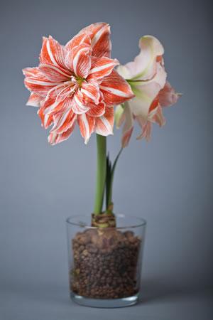 ritterstern amaryllis pflege anleitung der zimmerpflanze. Black Bedroom Furniture Sets. Home Design Ideas