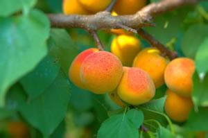 aprikosenbaum aprikose pflanzen pflege und schneiden. Black Bedroom Furniture Sets. Home Design Ideas