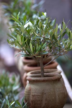 olivenbaum lbaum olea europaea pflege und berwintern. Black Bedroom Furniture Sets. Home Design Ideas