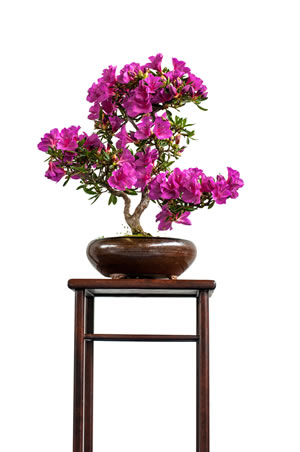 japanische azalee schneeperle obtusum pflege anleitung. Black Bedroom Furniture Sets. Home Design Ideas