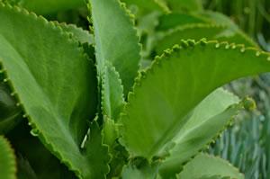 brutblatt bryophyllum pflege der goethe pflanze. Black Bedroom Furniture Sets. Home Design Ideas