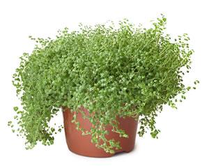 bubikopf pflanze pflege und vermehrung von bubik pfchen. Black Bedroom Furniture Sets. Home Design Ideas