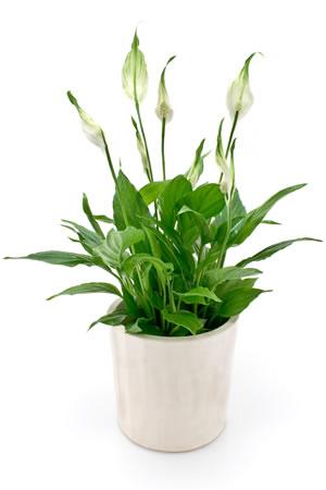 einblatt spathiphyllum pflanzen und pflege. Black Bedroom Furniture Sets. Home Design Ideas