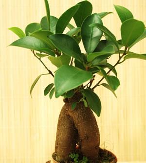 ficus ginseng pflege anleitung f r den bonsai. Black Bedroom Furniture Sets. Home Design Ideas