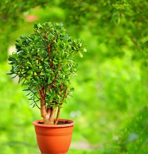 geldbaum crassula ovata pflege schneiden und vermehren. Black Bedroom Furniture Sets. Home Design Ideas