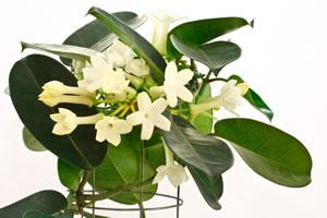 kranzschlinge stephanotis floribunda pflege. Black Bedroom Furniture Sets. Home Design Ideas