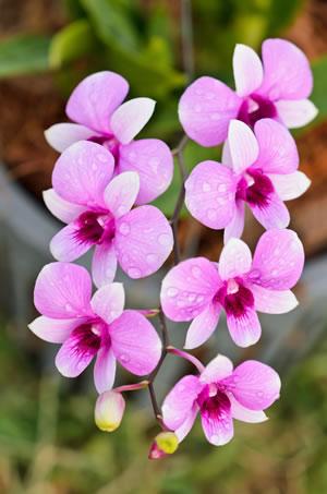 dendrobium orchideen pflege schneiden und vermehren. Black Bedroom Furniture Sets. Home Design Ideas