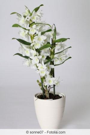 orchideen richtig schneiden darf man luftwurzeln abschneiden. Black Bedroom Furniture Sets. Home Design Ideas