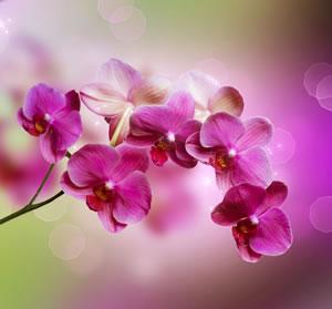 schmetterlingsorchidee pflege von phalaenopsis orchideen. Black Bedroom Furniture Sets. Home Design Ideas