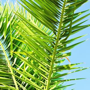 winterharte palmen f r den garten palmenarten pflege. Black Bedroom Furniture Sets. Home Design Ideas
