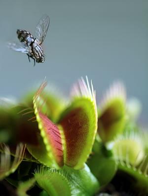venusfliegenfalle dionaea muscipula pflege und f ttern. Black Bedroom Furniture Sets. Home Design Ideas