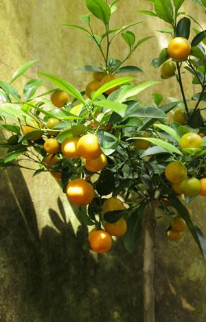 mandarinenbaum z chten pflege und berwintern. Black Bedroom Furniture Sets. Home Design Ideas
